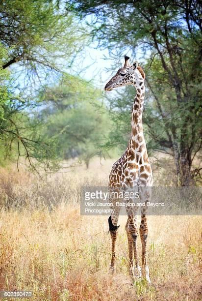 cute adolescent giraffe in tarangire, tanzania - tarangire national park stock pictures, royalty-free photos & images