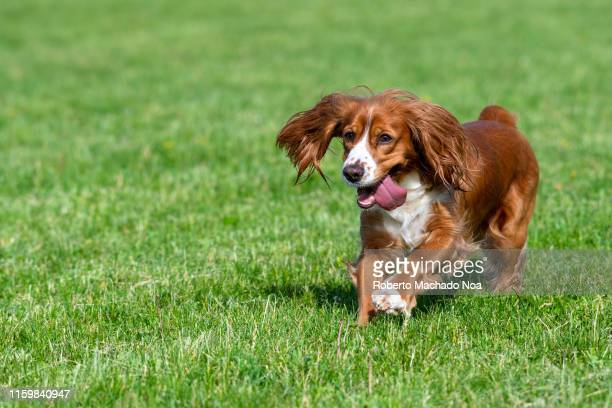 Cute adorable cocker spaniel dog pet with brown fur playing on a city park It is the springtime so the grass has a vibrant green color