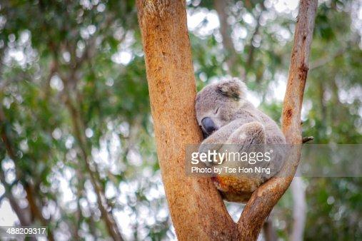 Cute adult koala from australia sleeping on tree
