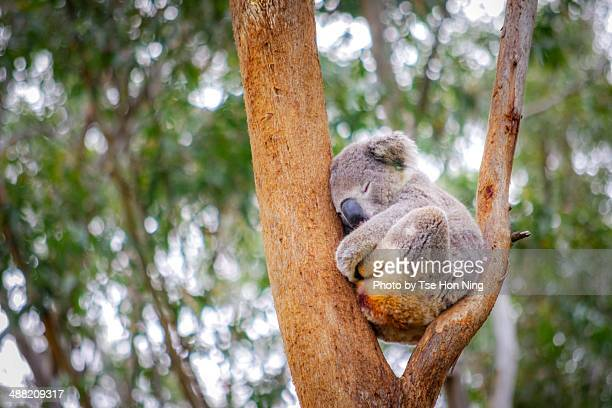 Cute adult koala from australia sleeping on tree