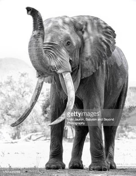 cute african elephant with trunk up in black and white at mana pools national park, zimbabwe - zambezi river stock pictures, royalty-free photos & images