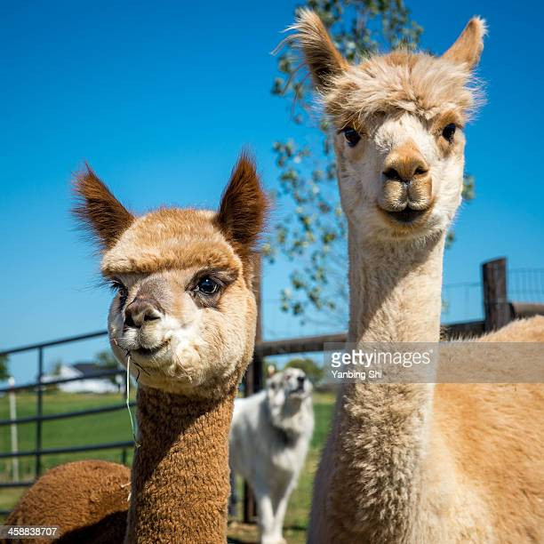 cute alpacas - lama stock pictures, royalty-free photos & images