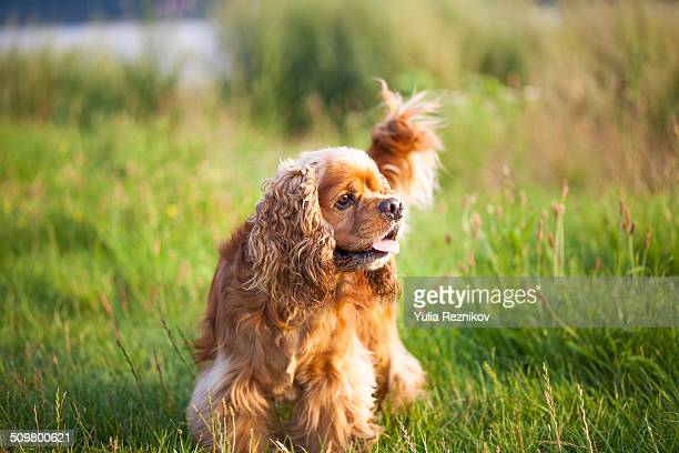 Cute american cocker spaniel dog