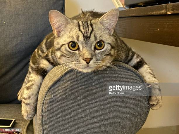 cute american short-hair cat resting on a sofa - shorthair cat stock pictures, royalty-free photos & images