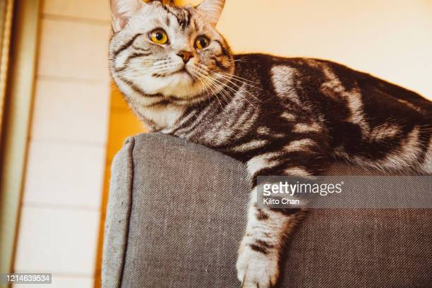 cute american short-hair cat resting on a sofa - tabby stock pictures, royalty-free photos & images