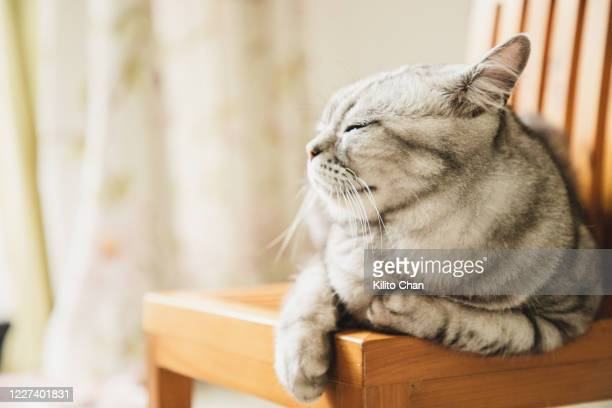 cute american shorthair striped cat resting on a chair - shorthair cat stock pictures, royalty-free photos & images