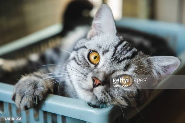 cute american shorthair striped cat taking a nap at home - domestic animals stock pictures, royalty-free photos & images