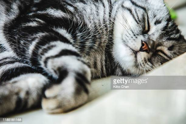 cute american shorthair striped cat taking a nap at home - shorthair cat stock pictures, royalty-free photos & images