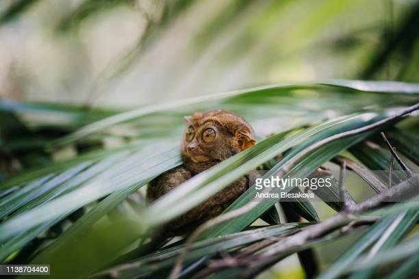 cute animal philippine tarsier in the forest - cebu stock-fotos und bilder