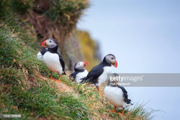 cute atlantic puffin - ratercula arctica in borgarfjordur eystri ,iceland. - tropical bird stock pictures, royalty-free photos & images