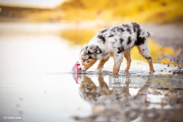 cute australian shepherd puppy playing with a little toy boat at a lake - australian shepherd puppies stock pictures, royalty-free photos & images