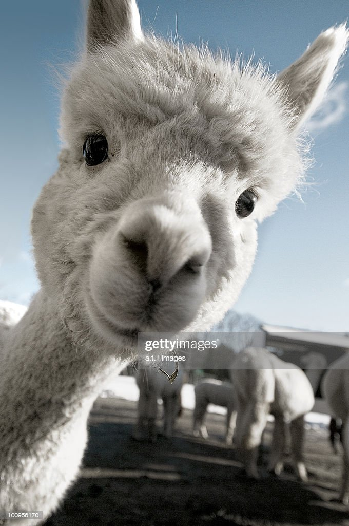Cute Baby Alpaca : Stock Photo