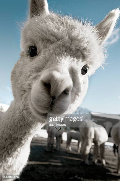 cute baby alpaca - lama stock pictures, royalty-free photos & images