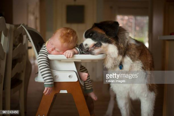 cute baby boy sleeping on high chair with dog resting head on it - babyhood stock pictures, royalty-free photos & images