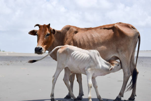 Cute Baby Calf Drinking Mothers Milk . Indian Cow Feeding Milk To Her Calf.
