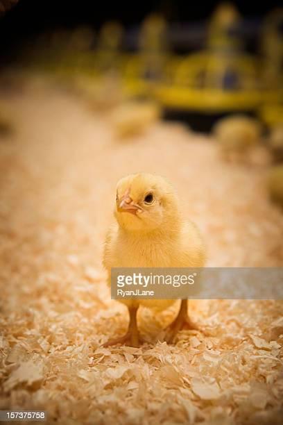 Adorable bébé Chick