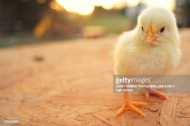 cute baby chicks - baby chicken stock photos and pictures