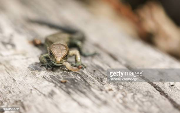 a cute baby common lizard (lacerta zootoca vivipara) eating an insect on a log. - hertford hertfordshire stockfoto's en -beelden