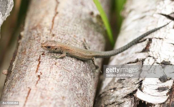 a cute baby common lizard (lacerta zootoca vivipara) hunting for insects on a log. - hertford hertfordshire stockfoto's en -beelden