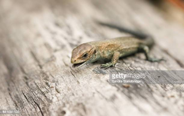 a cute baby common lizard (lacerta zootoca vivipara) with it mouth open showing its forked tongue. - hertford hertfordshire stockfoto's en -beelden