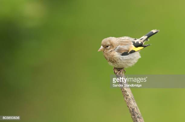 A cute baby Goldfinch (Carduelis carduelis) perched on a branch.