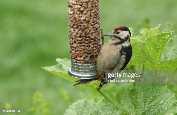 a cute baby great spotted woodpecker, dendrocopos major, feeding from a peanut feeder. - major stock pictures, royalty-free photos & images