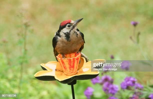 a cute baby great spotted woodpecker (dendrocopos major) perched on a daffodil garden ornament. - pica pau malhado grande - fotografias e filmes do acervo