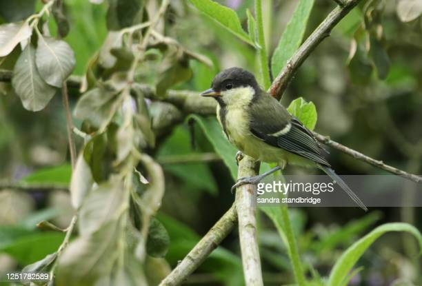 a cute baby great tit, parus major, perched on a branch. - major stock pictures, royalty-free photos & images