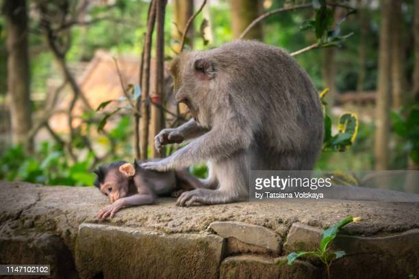 cute baby monkey with his mother in monkey forest - corporal punishment stock pictures, royalty-free photos & images