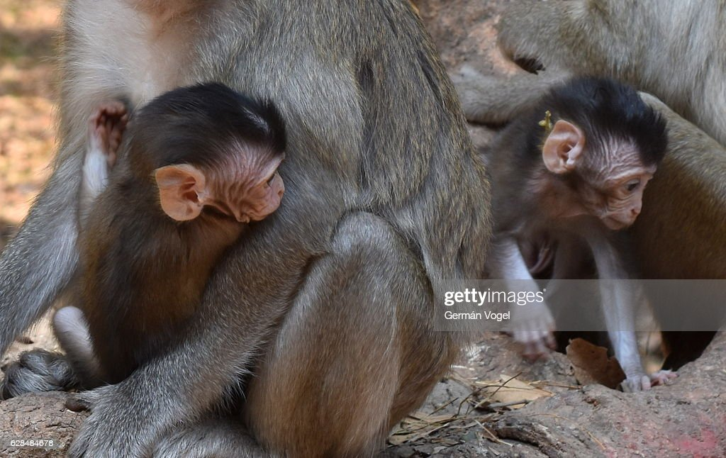 Cute Baby Monkeys In Their Parents Arms Siem Reap Cambodia Stock