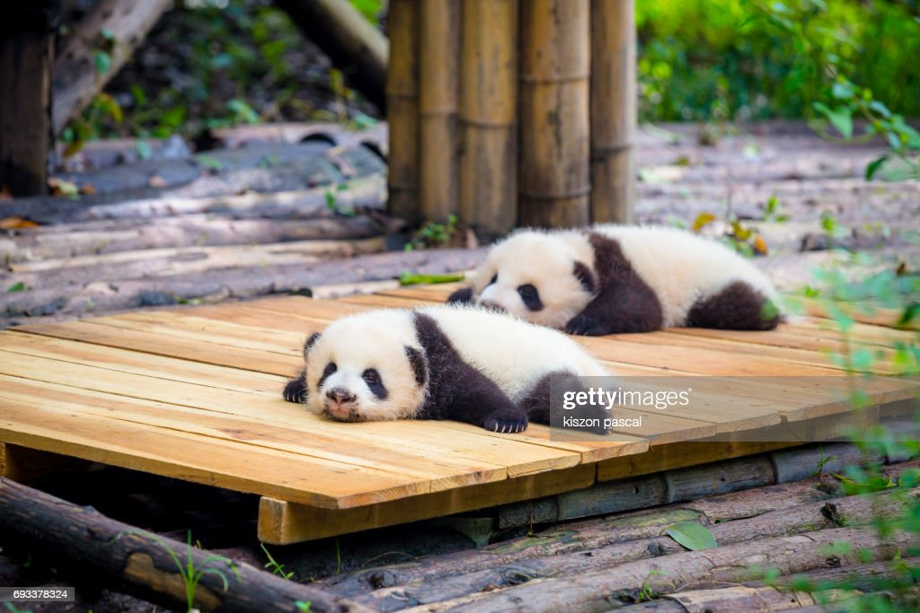 cute baby Panda : Stock Photo