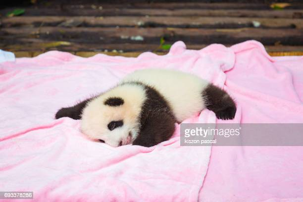 cute baby panda sleeping - giant panda stock pictures, royalty-free photos & images