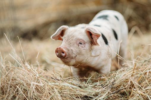 Cute Baby Pig Close Up At Organic Farm 1126508104