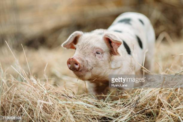cute baby pig close up at organic farm - pig stock pictures, royalty-free photos & images