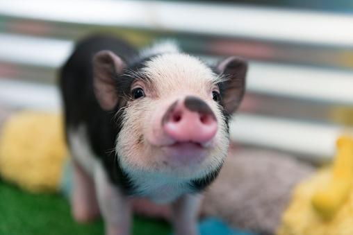 Cute baby piglet 586714878