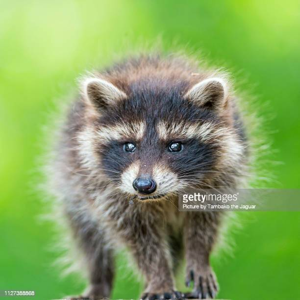 cute baby raccoon - raccoon stock pictures, royalty-free photos & images