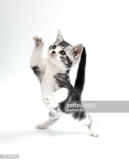 cute baby tabby cat on white background - domestic cat stock pictures, royalty-free photos & images