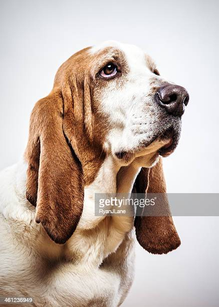 cute basset hound - basset hound stock pictures, royalty-free photos & images
