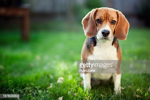 14 963 Beagle Photos And Premium High Res Pictures Getty Images
