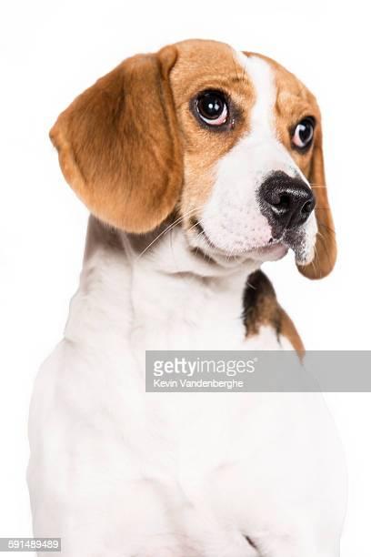 Cute beagle close up
