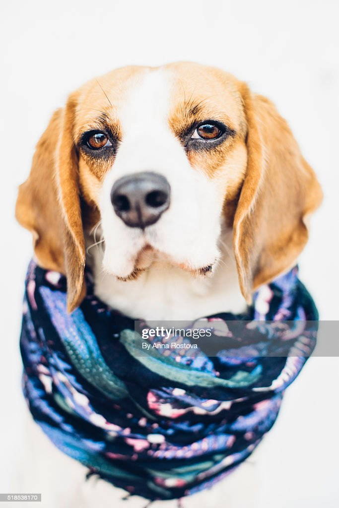 Cute beagle dog in blue scarf looking at camera : Stock Photo