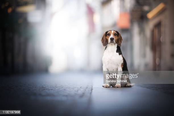 cute beagle in the city - städtische straße stock pictures, royalty-free photos & images