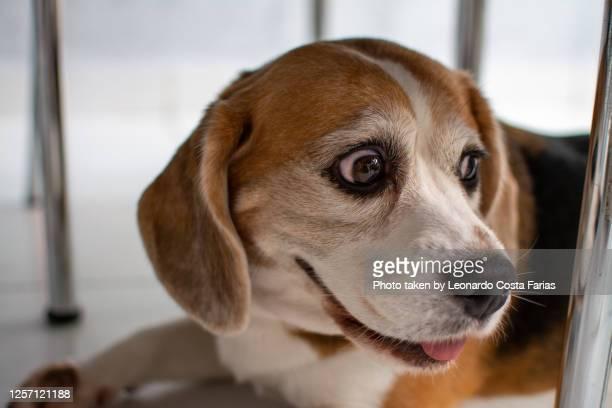 cute beagle - leonardo costa farias - fotografias e filmes do acervo