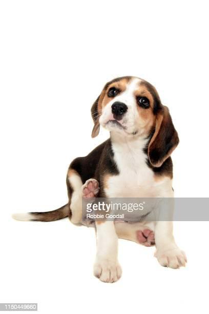 cute beagle puppy sitting on a white backdrop. - ビーグル ストックフォトと画像