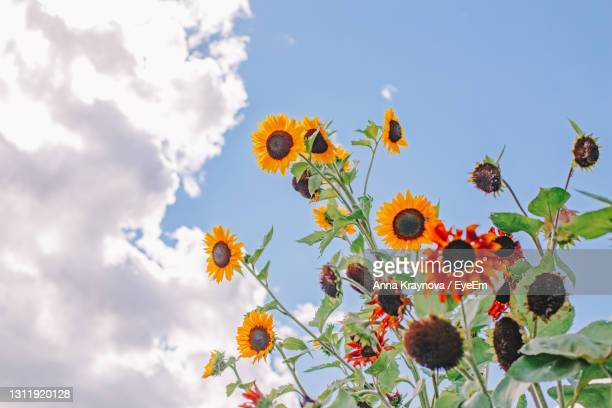 cute beautiful red yellow sunflower heads against blue sky outdoor. flower heads growing on stems - september stock pictures, royalty-free photos & images