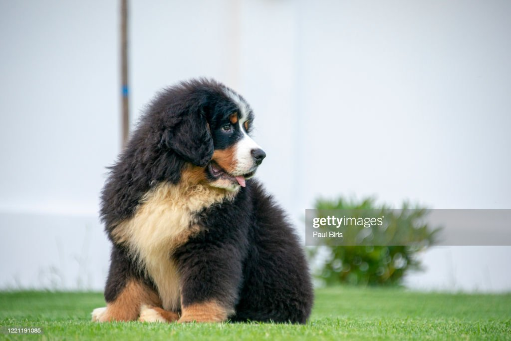 Cute Bernese Mountain Dog Puppy High Res Stock Photo Getty Images