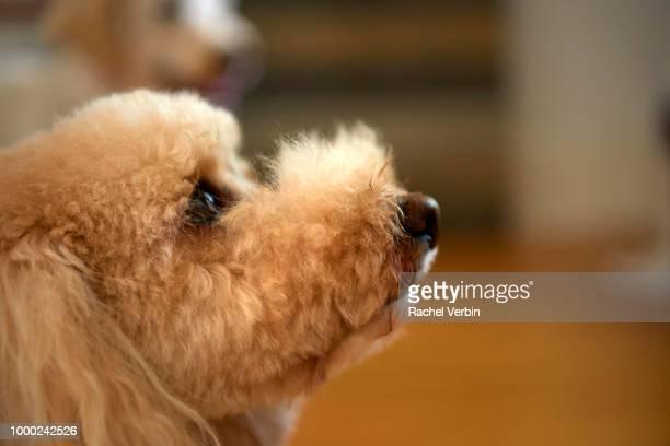 Cute Bichon Frisee Poodle