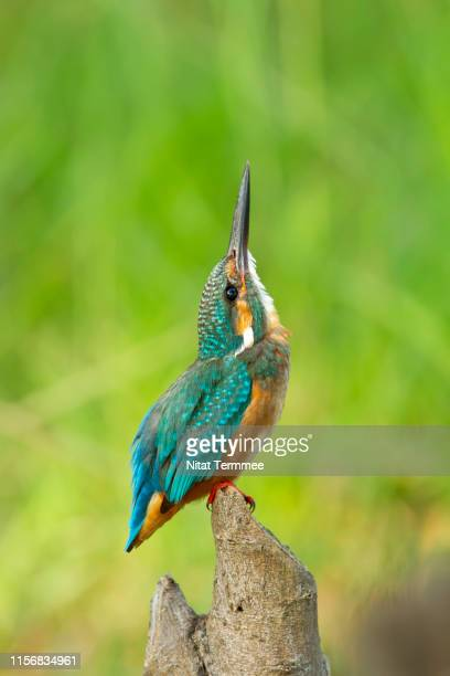 cute bird. female of common kingfisher ( alcedo atthis ) bird. found in real nature northeast of thailand - common kingfisher stock photos and pictures
