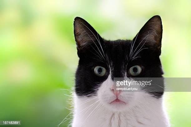 Cute black and white domestic cat head shot green background