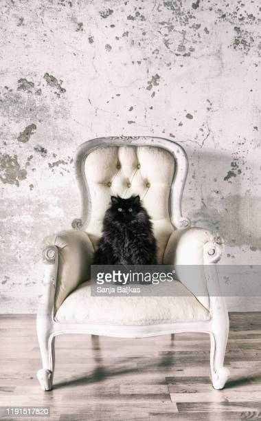 cute black cat on the sofa - glamour stock pictures, royalty-free photos & images